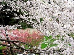 皇居と北の丸公園の間にも桜並木