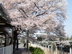 相模原駅    第2番ホーム ソメイヨシノ 駅開設を記念して当時第2番ホームに植樹。
