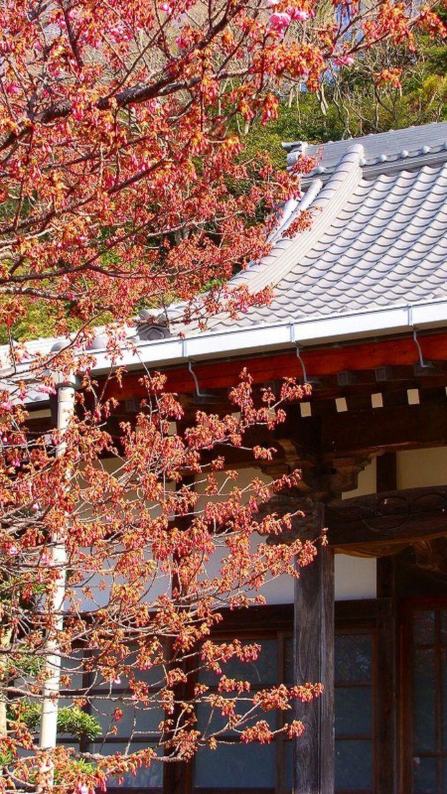 開花直前の伊豆土肥桜