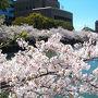 佐賀県庁周辺(桜を求めて)