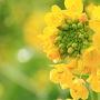 滋賀 第一なぎさ公園の菜の花と草津水生植物公園