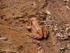 大谷地湿原を抜けると、また山道に。 途中で、脇の草むらから何かが飛び出してきた。 驚いて飛び退くと道の真ん中にカエルが。 エゾアカガエルだな。 驚かすなよ(^^;