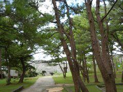 次に行った、座喜味城(グスク)の前庭の赤松。  松林と沖縄は、私のアタマの頭の中で結びつかないのですが、本州でもあまり見ないほど立派な松林でした。