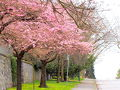 4thアベニューよりビーチ側はコンドミニアムが並ぶ住宅街。  チェリープラムが綺麗に咲いてました。