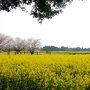 西都原古墳群の桜・菜の花祭り