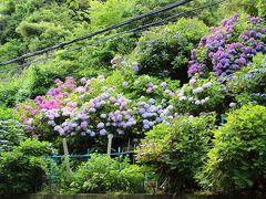 極楽寺駅で降りると、そこはもう紫陽花パラダイス。  道路脇の小さな森の中にも、野生の紫陽花がまるで花束の様に咲いている。  剪定されていないから、花芽が全て花開き大きな紫陽花ブーケの様。