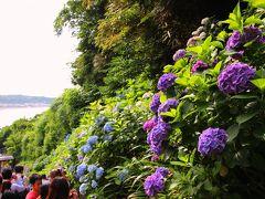 成就院は極楽寺坂の切り通しにあるお寺。  切り通しから見る紫陽花と由比ヶ浜の景色が美しいと聞いて、成就院を梅雨の花・紫陽花散歩のスタート地点と決めた。  坂の上にある寺門の前に着いたのは7:40頃。 その時点で、門の前には10人以上の人が並んでいた。  8時開門。  大きな本格的なカメラを持った人達が、撮影ポイントに向かい走る。  娘と私は、眼下に広がる山肌の緑を彩る紫陽花と由比ヶ浜の景色に目を奪われ、写真どころではない。