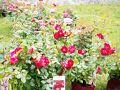プロヴァンはバラ製品が有名な街。6月はバラのシーズンのはずでしたが、あんまり「咲き乱れてる」というほどでもなかったなぁ…。最近どこも異常気象だから、今までの統計が役に立ちません。