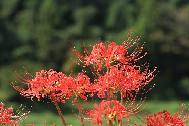 彼岸花の咲く葛城古道の一言主神社と九品寺