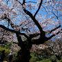 2014 六義園 庭園と桜 下