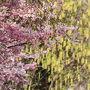 まずは新宿門近くの桜からスタート! 黄色のハチジョウキブシを背景にして。
