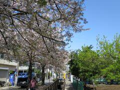 洗足池から流れ出る洗足流れ沿いの桜からスタートします。
