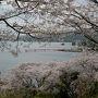 九州サクラ紀行ドライブ・その2(湯の児チェリーライン&中尾山公園)