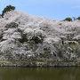 彦根城での花見