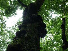 白神山地のマザーツリー程じゃありませんが、 大きな木に足が止まります。 木漏れ日が眩しい。