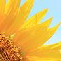 黄色の大輪咲き誇る!座間のひまわりまつり
