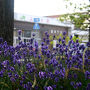 朝は民宿の送迎で富良野駅まで送ってもらいました。流石富良野といえばラベンダー、ラベンダーといえば富良野、駅前にもラベンダーの花が咲いていました。ちょうど今が見頃の時期のようです。