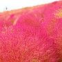 ほうき草と秋桜と。