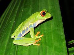 朝5時半に海亀の孵化をみるため、ガイドのエリカと待ち合わせです。 その前に、日課になったプール横のカエル園での赤目ガエル探しです。 今日もいました。  英名: Red-eyed tree frog 和名: アカメアマガエル (赤目雨蛙) 学名: Agalychnis callidryas 分布: メキシコ南部〜パナマ 特徴: 中米の固有種、虹彩が赤く捕食者を驚かせる