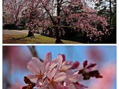 タップリと景色を愉しんでから北の丸公園を抜けると、そこはもう皇居。  皇居の周りにも桜は沢山咲いていて、乾門の前には咲き誇る紅色のしだれ桜。 しだれ桜の花色はソメイヨシノよりは少し赤色が強く、花弁の形も独特だ。