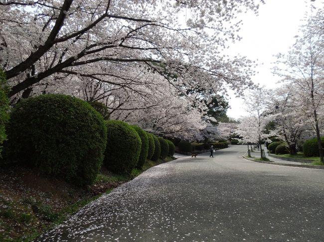 18eecbf0f7 桜! 満開です!』福岡県の旅行記・ブログ by モリリンさん【フォー ...