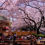 春爛漫 豊島園 下