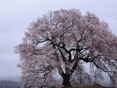 列車に揺られながら決めたのは、わに塚の桜を観に行くこと。 しかし、車窓は雨模様に。 韮崎駅で降り、駅前から11:21発の市民バス上円井上行きに乗車。 小さくて可愛いバスに乗ること15分足らずで、最寄りの武田八幡入口バス停に到着。 そこから歩くこと5分ほどで、わに塚の桜が見えてきた。 ちょうど見ごろのようで、写真で見慣れたこんもりとした感じになっていた。 ただ、天気が悪く、茅ヶ岳が見えなかったのがあまりにも残念。