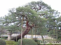 琵琶湖畔の唐崎松から種子を取り寄せて育てた黒松だそうで。 雪吊りとか見てみたいな。