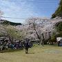 七川ダム湖畔(和歌山県)のサクラ
