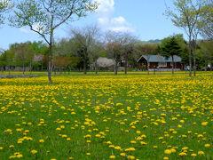 さらんべ公園を出て、遊楽部川を渡ったら対岸に たんぽぽの花畑が!  スケールの広さに感動♪