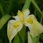 山田池公園(枚方市)の花しょうぶ園