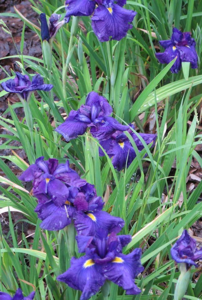 艶 紫 つやむらさき TSUYA MURASAKI