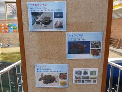 そして、道の駅のウミガメ公園へ。   タダでウミガメが観れるので休憩場所にしては上出来です。