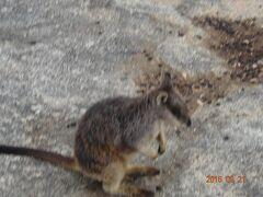 グラナイトゴージ・ネイチャーパークで、とても、可愛いロックワラビーの餌付けをしました。(16:00〜16:20)