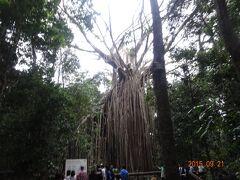 締め殺しのイチジクの木です。