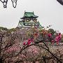 大阪城 梅の木に ネコが お昼寝中~