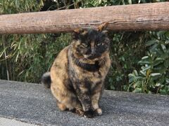 この時期 樫野崎灯台で 水仙が見ごろと言うことで行ってみました  とってもフレンドリーな お猫様が お出迎え