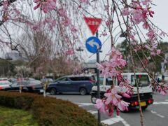 乾門を出て皇居東御苑を通って東京駅方面に帰っても良いのですが道を渡って千鳥ヶ淵方面にいきます。この写真は乾門の目の前の横断報道を渡った先から乾門方面を撮ったものです。ここの桜も垂れっぷりが綺麗で桜色が濃くて好きです。