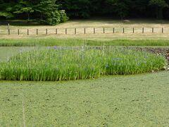 埋没林公園を見学後、姫逃池に見頃になっているカキツバタを見に行きました。