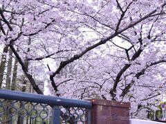 ではでは、桜ノ宮駅周辺に咲き広がるピンク色の風景をもっと近くで見てみましょう〜 桜ノ宮駅を出て、駅前にある源八橋に足を向けてみると・・・