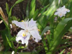 さてさてまだまだ緑道を歩きます。シャガもたくさん咲いていました!