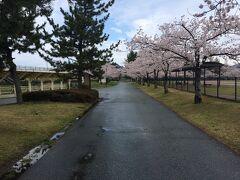 スタジアムは桜満開。