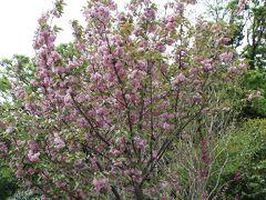 途中、八重桜(?)が咲いていました。