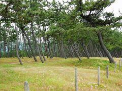 浜坂海岸にやってきました。  『浜坂海岸飛砂防備林』通称「松の庭」  松を植林されて、今では、「日本の白砂青松100選」にも選ばれています。  海水浴だけじゃなくて、キャンプ施設も充実しているようです。