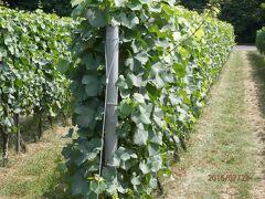 14時。ブドウはこの位置で実り9月に熟す。日照は平均的にあたる。