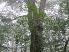 ひと足の延ばして「森の神」と呼ばれる日本一のブナの巨木へ。霧に包まれた幹周り6mの神々しい巨木でした。