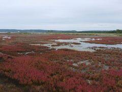 残された群落はあるものの一面広大な赤いじゅうたんを想像していたのでちょっとものたりない。