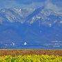 春のイメージが強い菜の花・春近し、春を先取りのカンザキハナナ
