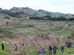 衝撃?の和歌山らーめんの後は、、  約1時間かけて「南部(みなべ)梅林」へ、、 (駐車場は一律500円)  なだらかな山の斜面に広がる梅林、、 午後に入り、ちょうど日が陰り出し 白い梅の花の色がくすんで見えたのが残念でした、、