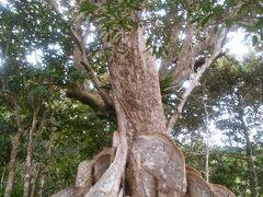 サキシマスオウノキの木